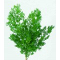 8200160700 - Myriocladus - 30-35cm L. Green.  (abt 15-20g Bunch)